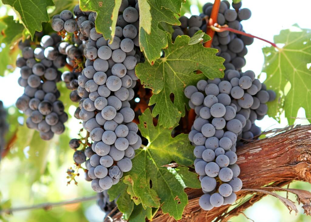 Um dia para a uva Cabernet Sauvignon